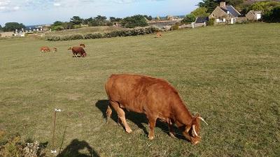 Un exemple : les vaches de Bréhat